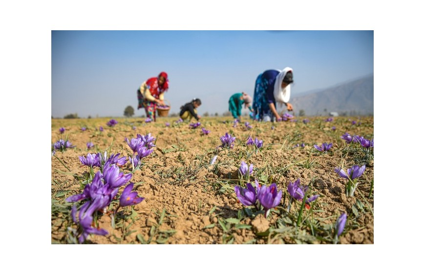 J&K launches Kashmiri saffron in UAE market